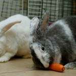 One of our favorite tricks/exercises was to give the two rabbits one carrot.  We were obviously being nice this time...